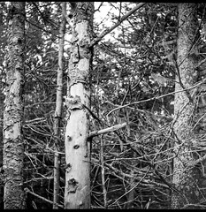 three spruce trunks, forest, Owl's Head, Maine, Ricohflex Dia M, Arista.Edu 200, Moersch Eco Film Developer, mid September 2017