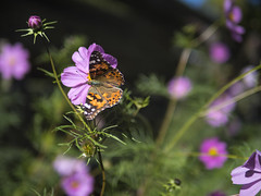7 Oct 17 Cosmos and Butterfly