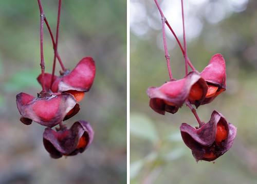 Euonymus latifolius - fusain à larges feuilles 37377985106_3b012ce759