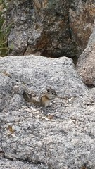 Least Chipmonk in Needles Hwy - Custer State Park - Black Hills SD