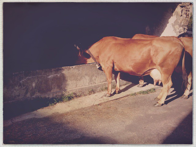 French Alpes / Vaches