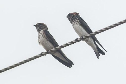 Streak-throated Swallow