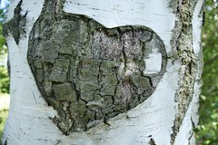 Heart bark on tree