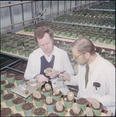 Research scientists at the University of Guelph working on the potato breeding process