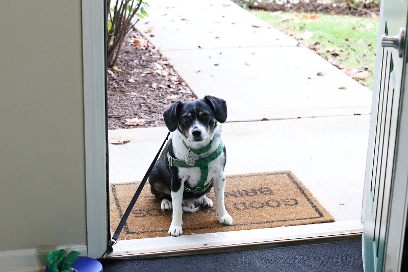 louis-the-beagle-dog-main-door-mat