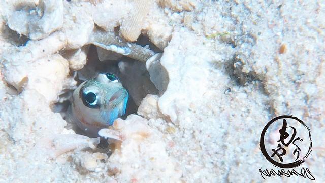 リングアイジョーフィッシュは幼魚がオススメw