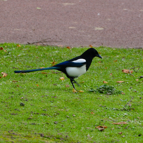 Strutting magpie, West Park