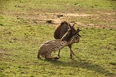 Cheetah coalition kill another Wildebeest - eventually