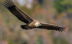 Griffon Vulture big wings - (Gyps fulvus) Best viewed large