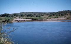 Basking hippos on sandbank in Olifants River. Kruger. North Transvaal. Kruger Reserve