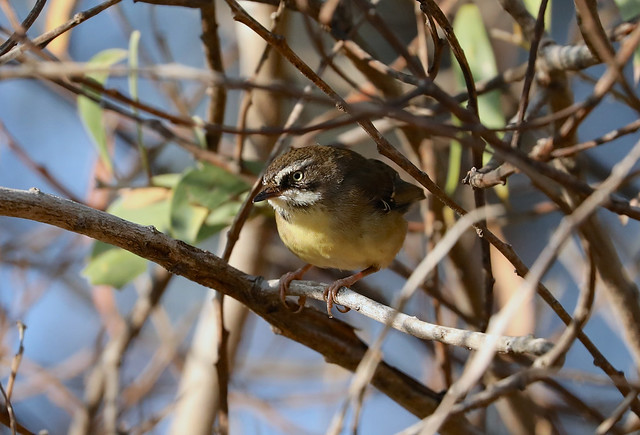 Female White-browed Scrubwren ---- Sericornis frontalis