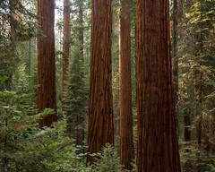 Sequoia National Park VIII