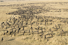 Mass of Wildebeest Migrating Viewed from Hot Air Balloon