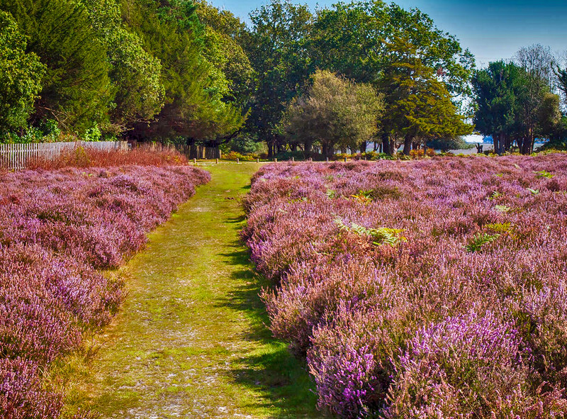 Spectacular beds of heather in September at Broomy Lodge in the New Forest. Credit Anguskirk, flickr