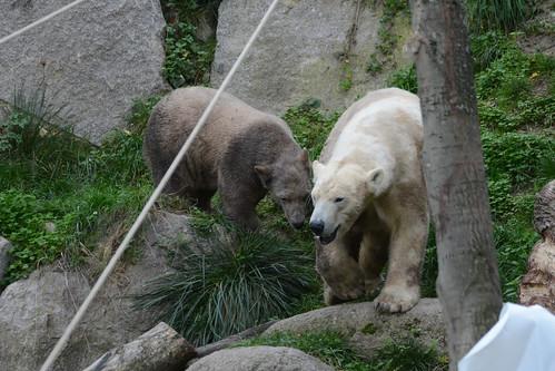 Eisbären Sesi und Nanuq im Parc zoologique et botanique de Mulhouse