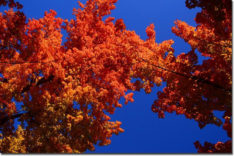 2017 Maple in Fall, Boulder, Colorado  (21)