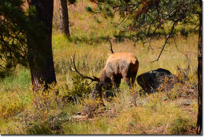 Elk at Rocky Mountain National Park (4)
