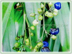 Berries of Dianella ensifolia (Umbrella Dracaena, Flax Lily, Common Dianella, Sword-leaf Dracaena, Cerulean Flax-lily, Siak-Siak in Malay) in different stages of growth, 3 Oct 2017