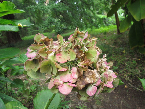 Hydrangea - October in Koishikawa Botanical Gardens