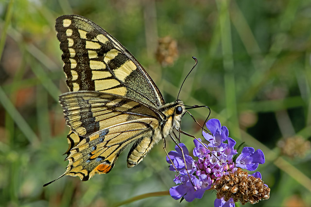 Papilio machaon - the Swallowtail