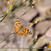 Painted lady butterfly por apmckinlay