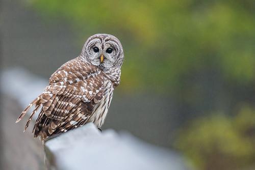 wildlife owl eyes nature bird birdsofprey strixvaria barredowl raptor rain mist perch gillette newjersey unitedstates us