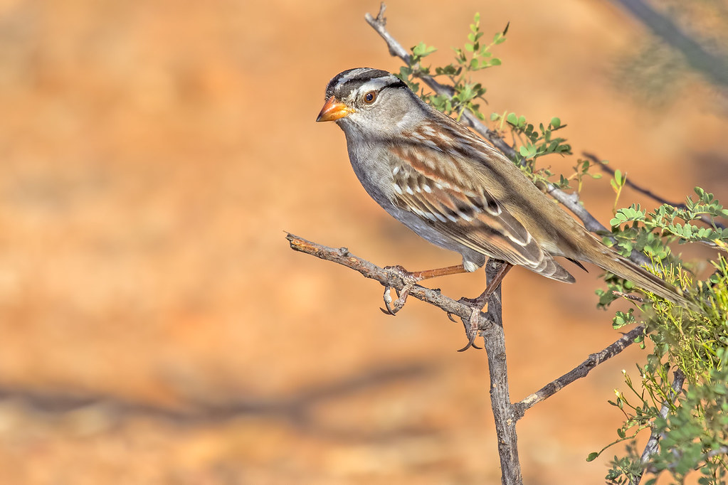 White-crowned-Sparrow-9-7D2-102417