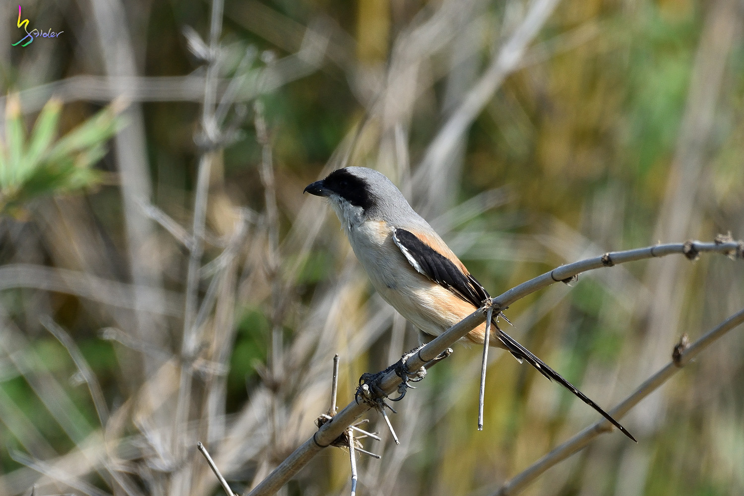 Long_tailed_Shrike_9060