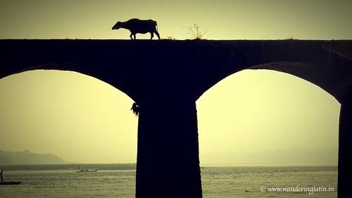 Buffalo over bridge