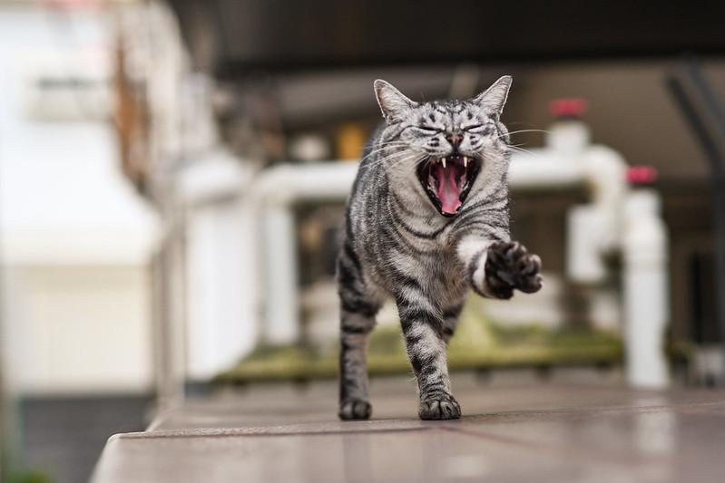 あくびするネコを連写した写真3枚目