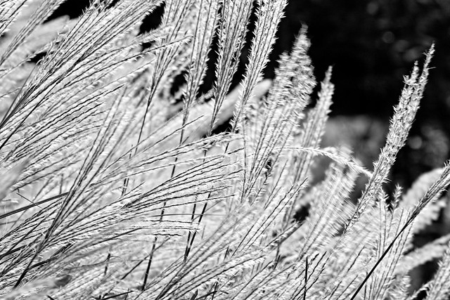 spikes-of-japanese-pampas-grass_091017