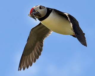 Puffin returning to the nest with Sand Eels. Farne Islands