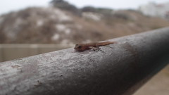 Little gecko - I found it IN my curtains! Safely released outdoors.