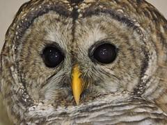 Barred Owl banding