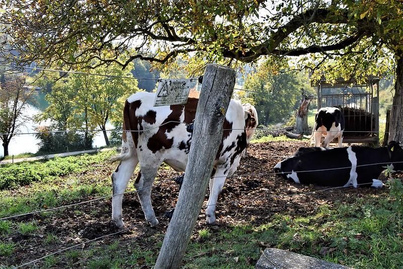 Cows 27.09 (6)