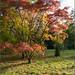 Westernbirt Autumn