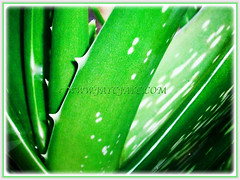Leaves of Aloe vera (Chinese/Indian Aloe, True Aloe, Barbados Aloe, Burn/Medicinal Aloe, First Aid Plant) with serrated margin and have small white teeth, 3 Nov 2017