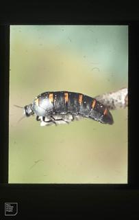 Oil beetle. Cape Trafalgar Spain. April. 1975