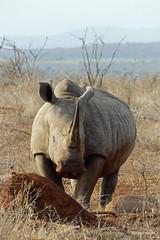 Walking with White Rhino, Mkhaya (10)