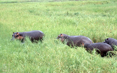 4 hippos in grass. River Chobe. 2 tiny babies invisible