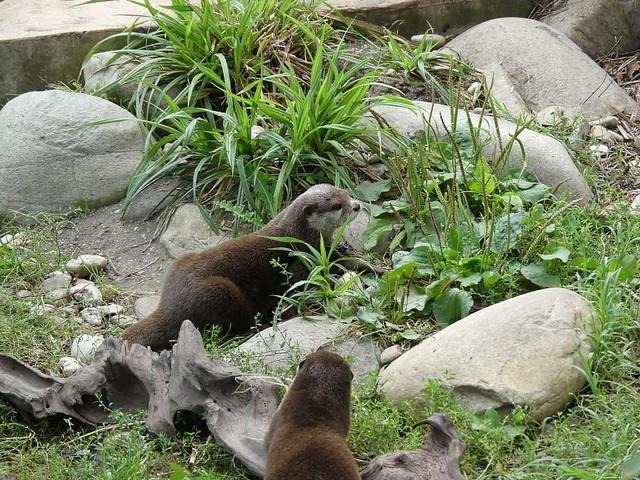 Otter, Tiergarten Schönbrunn