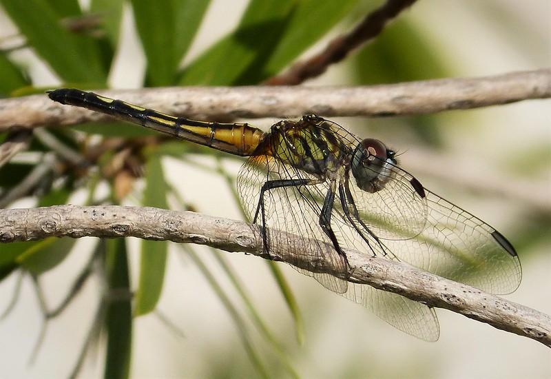 Blue Dasher female. Pachydiplax longipennis
