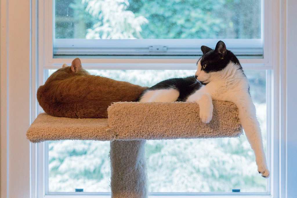 A color picture of our cats Sam and Boo sleeping side-by-side at the top of the cat tree