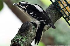 2017-10-20 Downy Woodpecker (1024x680)