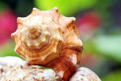 Petite coquille de Mollusque d'un chapelet décoratif à Tahiti