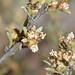 Small photo of Lawrencia squamata
