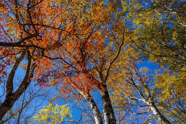 ブナの紅葉を見上げる