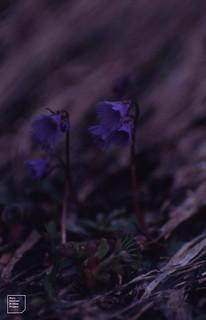 Soldanella alpina, Gross glockner 1990