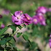 kazuo0801 posted a photo:Ibaraki flower ParkIshioka-shi ,Ibaraki Prefecture,Japan Jupiter 37A 135mm/f3.5(M42)Focal Reducer LENS TURBO2(M42-FX)