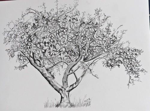 Pomar cargado de fruto. Apple tree. (Asturias)
